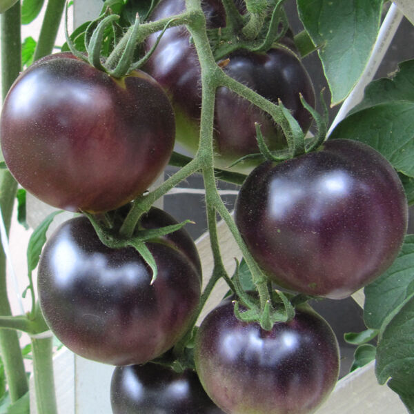 organic vegetable tomato black cherry 60 finest seeds ebay. Black Bedroom Furniture Sets. Home Design Ideas