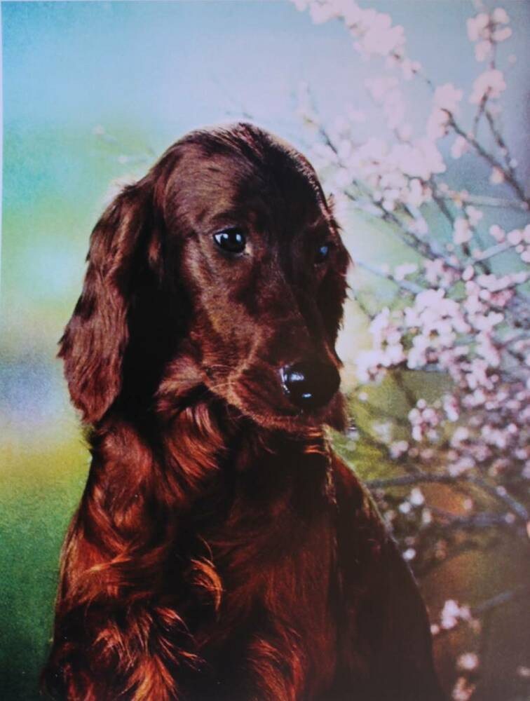 irish setter in blossoms vintage art ebay. Black Bedroom Furniture Sets. Home Design Ideas