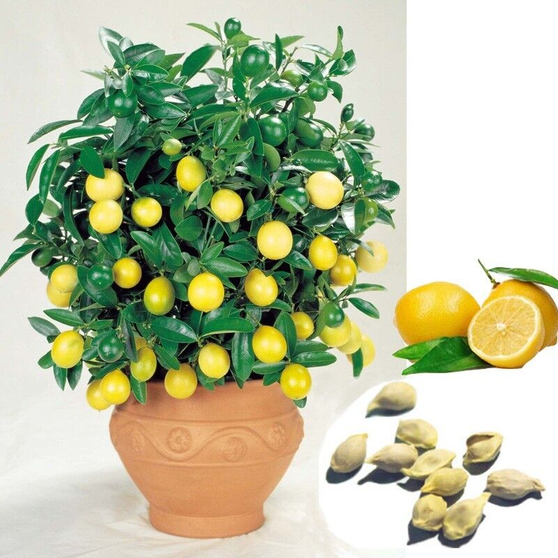 10pcs Rare Lemon Tree Seeds Available Indoor Outdoor