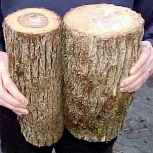 2 Fresh Cut Oregon White Oak Logs For Growing Mushrooms