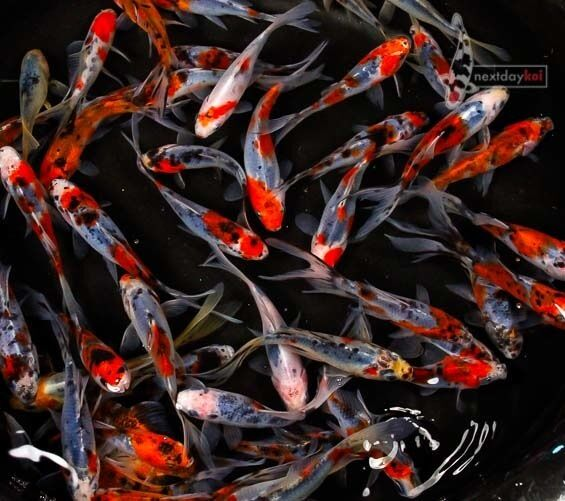 4 to 5 shubunkin goldfish live fish for koi pond ndk ebay for Koi fish for sell