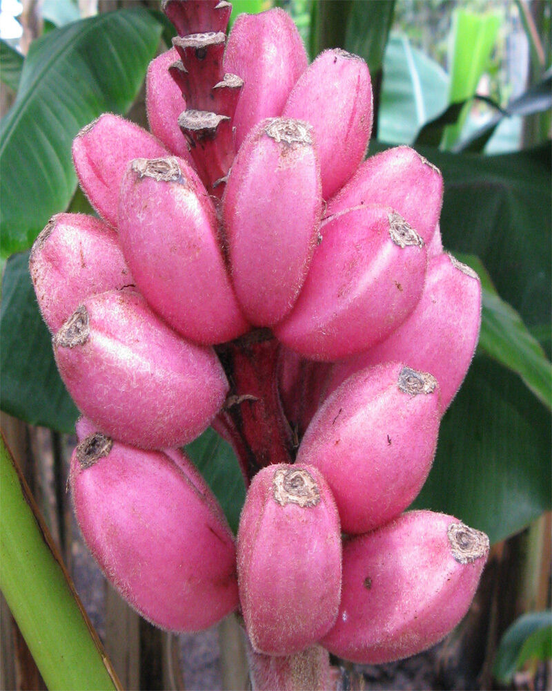 musa velutina 10 seeds rosa zwergbanane 10 frische samen rarit t ebay. Black Bedroom Furniture Sets. Home Design Ideas