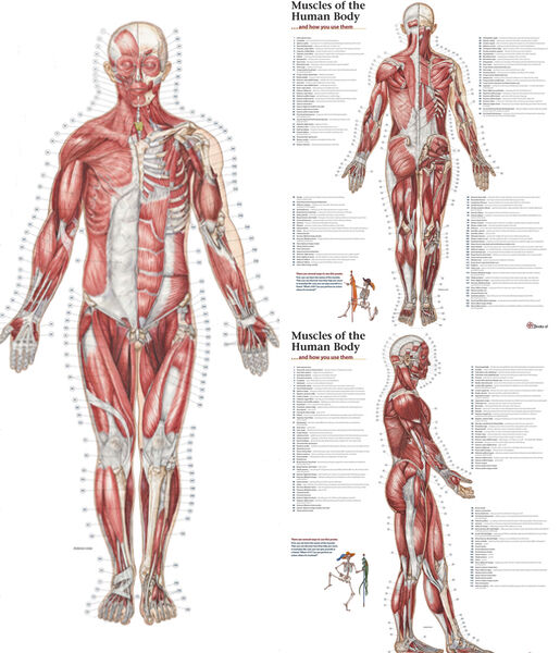 Trail Guide To The Body Muscles Of The Human Body 3 Poster Set