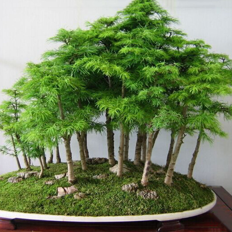 20pc green greeting pine juniper japanese cedar semillas bonsai plant seeds ca ebay. Black Bedroom Furniture Sets. Home Design Ideas
