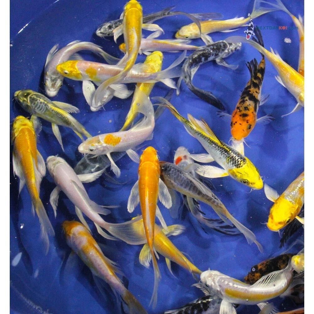 Group of 10 5 assorted butterfly koi live fish fin for Purchase koi fish