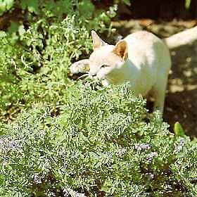Cat Eating Catmint