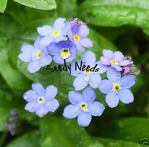 forget me not myosotis 50 seeds ebay. Black Bedroom Furniture Sets. Home Design Ideas