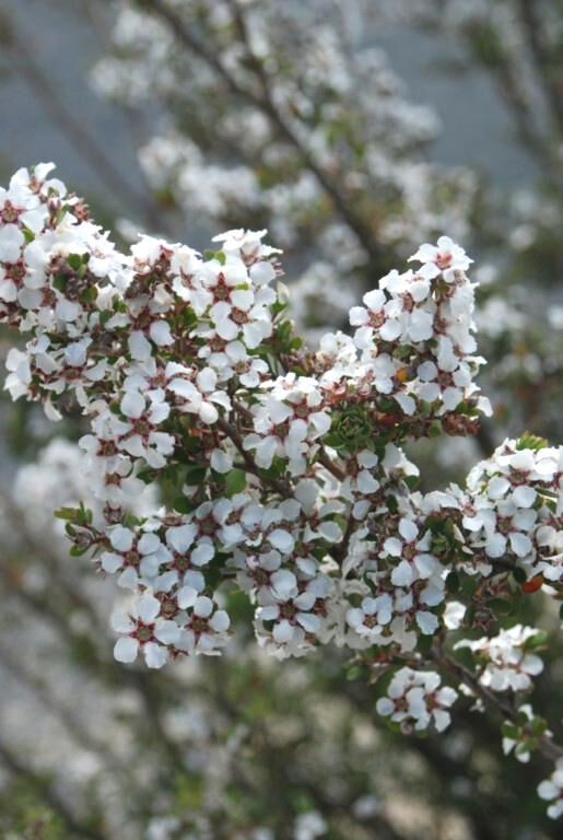 White Manuka Leptospermum Scoparium 300 Fresh Seeds