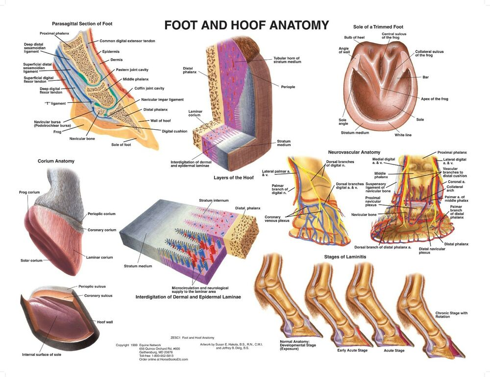 equine foot hoof anatomy wall chart 5 lfa 2540 horse. Black Bedroom Furniture Sets. Home Design Ideas