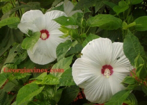 hibiscus moscheutos luna white 10 seeds ebay. Black Bedroom Furniture Sets. Home Design Ideas