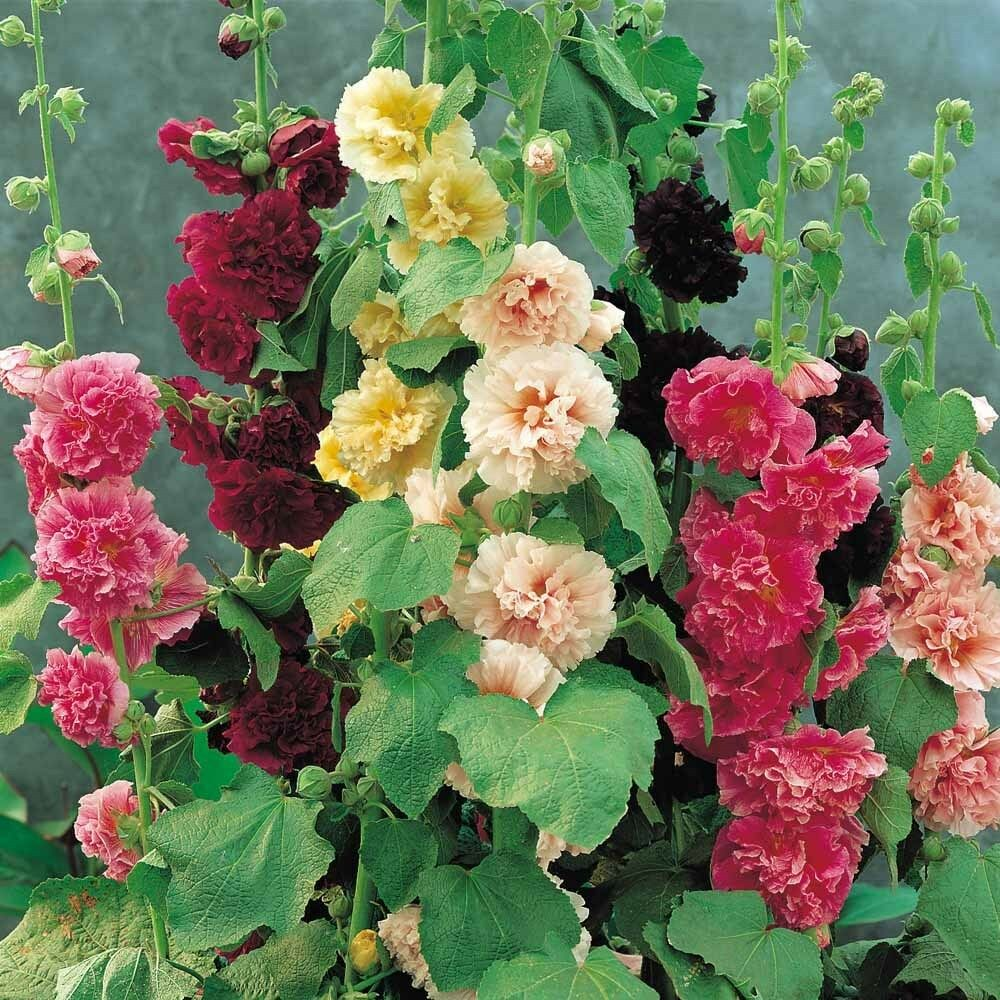 Alcea rosea summer carnival mixed colors perennial seeds for Beautiful flowers to plant in your garden