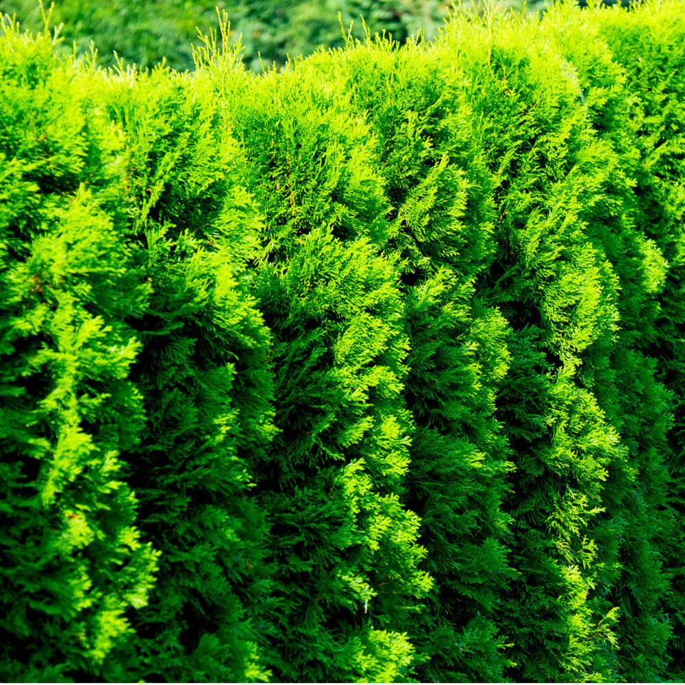 Red Cedar Hedge ~ Western red cedar thuja gelderland ft tall in cm