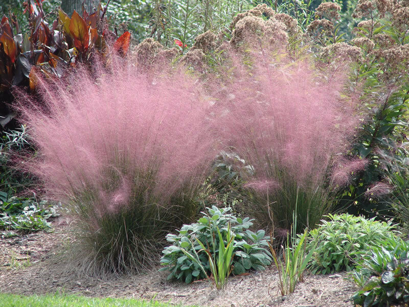 Ornamental flowering grass seeds mix ebay for Ornamental grass with yellow flowers