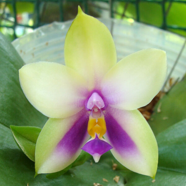 Breeds Of Orchids: Special Offer - Rare Orchid Phalaenopsis Species
