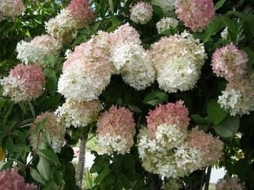 hydrangea paniculata grandiflora pee gee 20 seeds ebay. Black Bedroom Furniture Sets. Home Design Ideas