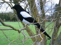 FLOCKED MAGPIE DECOY LARSEN TRAP DECOYING SHOOTING BIRD CALL FAKE with PEG A1 UK