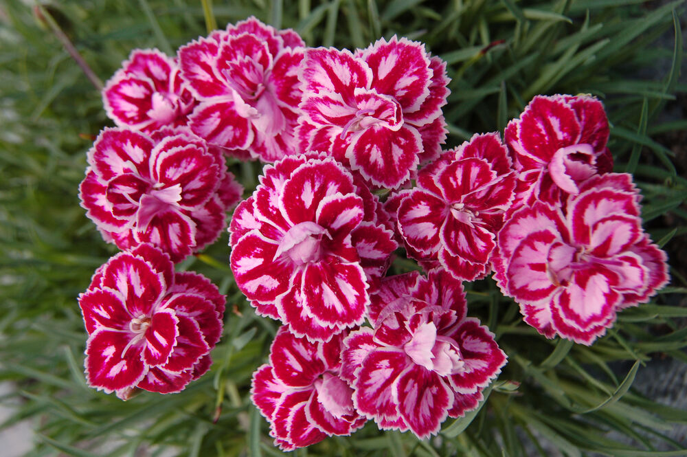 heirloom 400 seeds dianthus barbatus carnation sweet willieet william double mix ebay. Black Bedroom Furniture Sets. Home Design Ideas