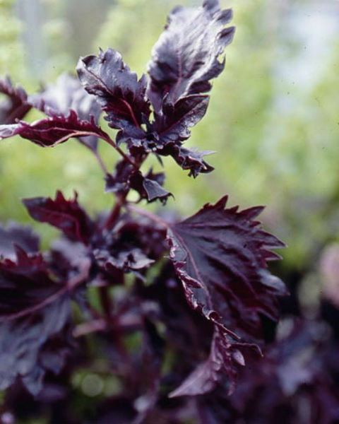how to use tulsi seeds