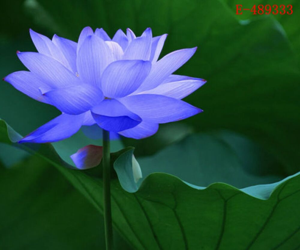 10 Seeds Lotus Bowl Water Lily Nelumbo Nymphaea Sapphire ...