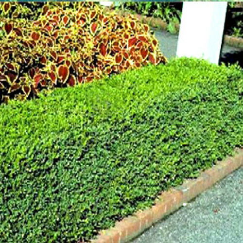 Bushes That Grow Fast