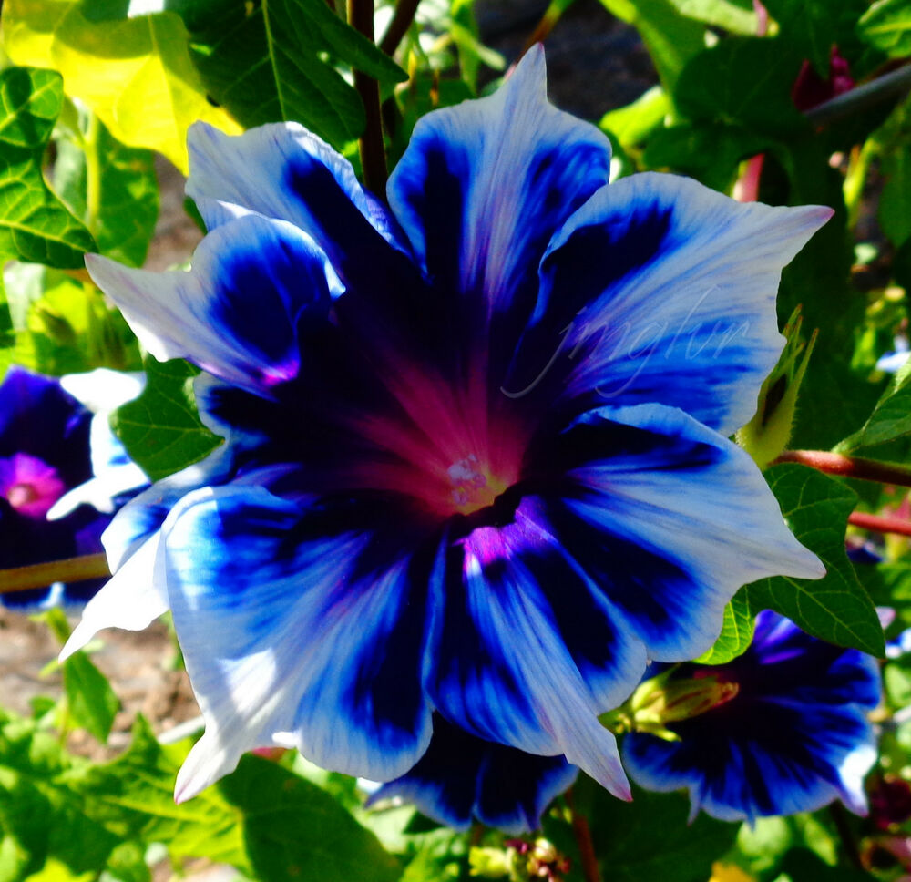 morning glory Find great deals on ebay for morning glory seeds and heavenly blue morning glory seeds shop with confidence.