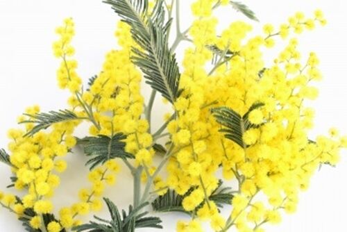 Acacia dealbata (Mimosa/Silver Wattle) seeds - Large Packet - 100 Seeds
