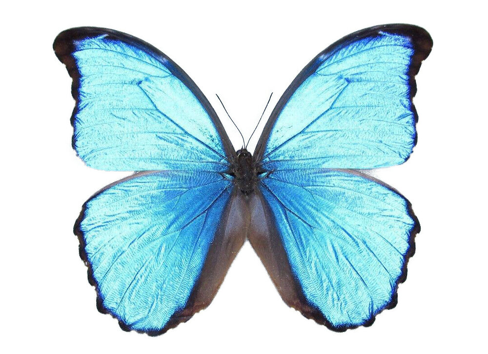 ONE REAL BUTTERFLY BLUE PERUVIAN MORPHO DIDIUS UNMOUNTED ...