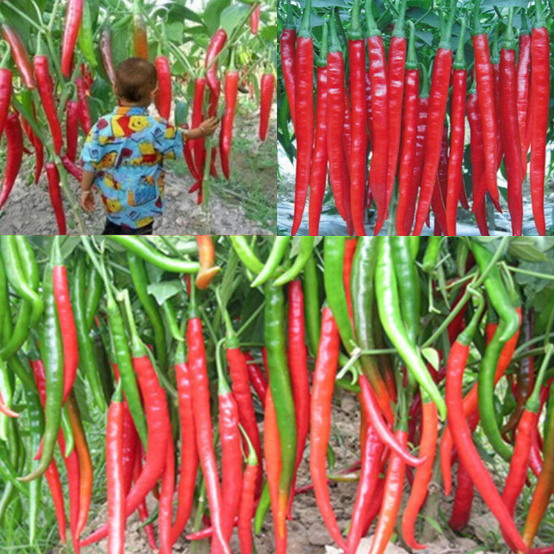 Super Giant Long Red Chili Seed Hot Pepper Organic Seeds ...
