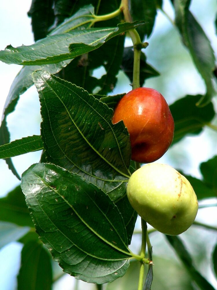 Pictures Of Fruit Tree Seeds 76