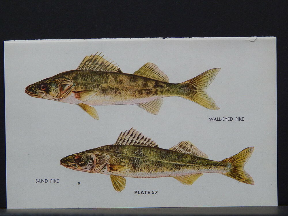 Fish north american game fish c 1940s 28 wall eyed pike for One eyed fish