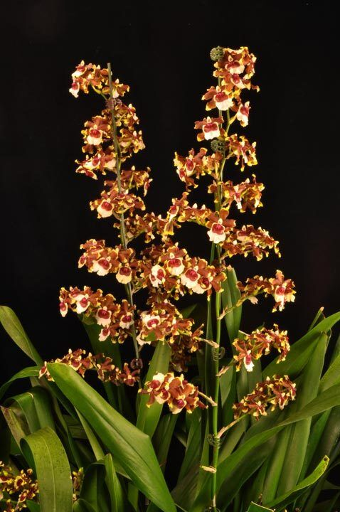 Oncidium Jimbo Swarm Cool New Oncidium Orchid Shipped