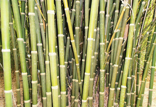Bambusa Tulda Indian Timber Bamboo Seeds Ebay