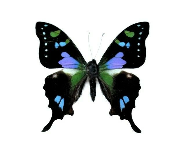 ONE REAL BUTTERFLY PINK BLUE PURPLE INDONESIAN WEISKEI ...