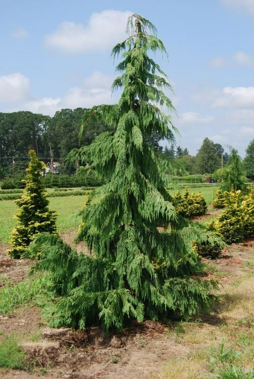 how to grow a cypress tree from seed