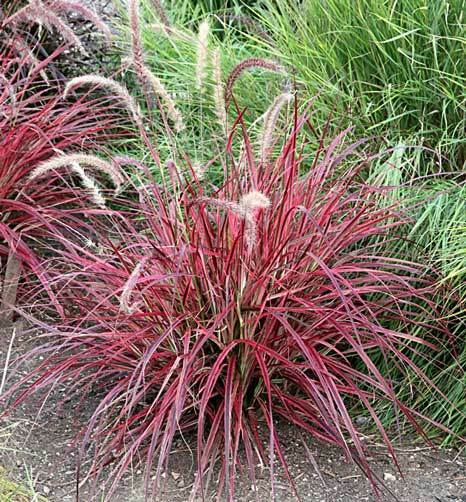 Pennisetum setaceum fireworks 25 seeds ebay for Perennial grasses red
