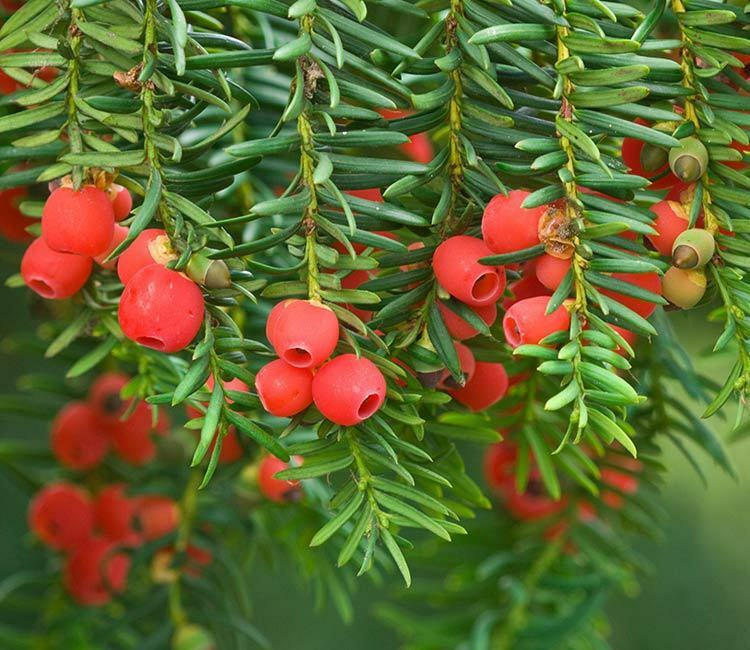 Taxus Baccata 25 Seeds English Yew Tree Ebay