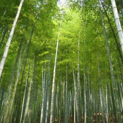 100 Moso Bamboo Seeds Phyllostachys Pubescens Growing Planting Creen Decor