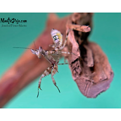 Kyпить Jeweled Flower Mantis (C. Gemmatus) L2/L3 LIVE Nymphs на еВаy.соm