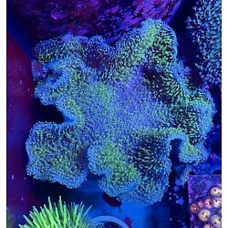 12  SHOW PIECE TOADSTOOL LEATHER CORAL  -CHECK OUR OTHER LISTINGS - SOFTY
