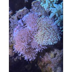 WYSIWYG Neon Pink & Green Long Polyp Toadstool Rock Colony Multiple Pieces