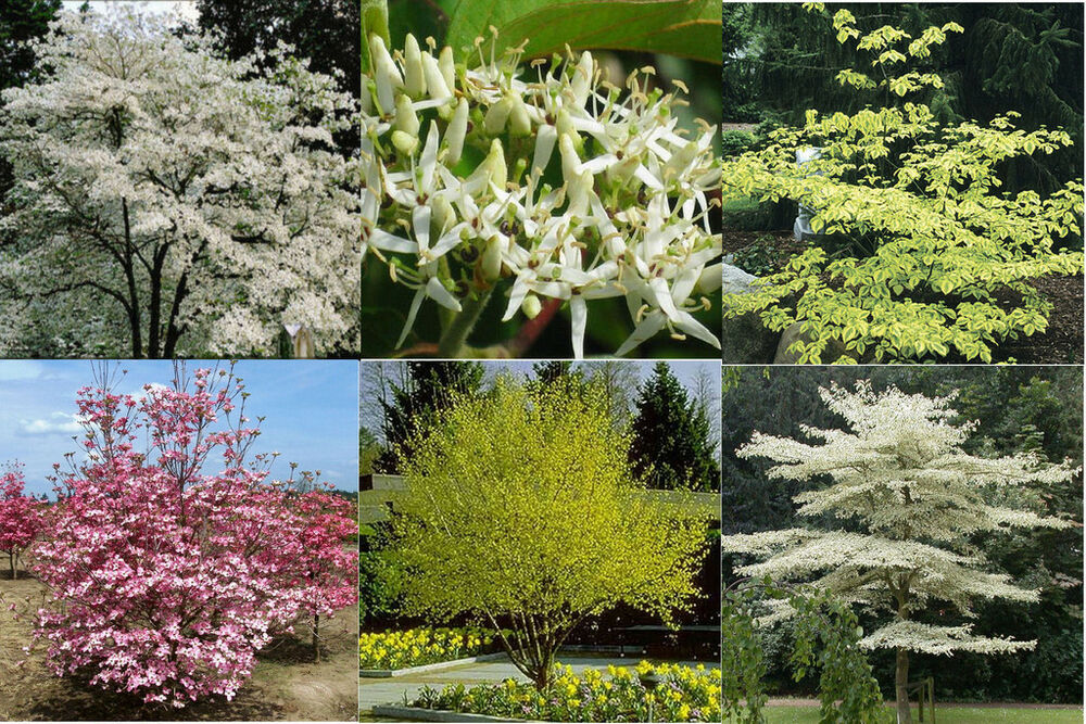 how to grow chinese dogwood from seed