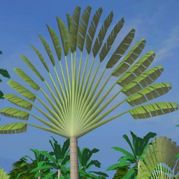 TRAVELERS PALM Ravenala 10, 50, 100, 500 1000 seeds choice ...