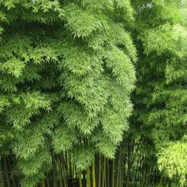 Moso Bamboo Seeds Phyllostachys Pubescens Giant Bamboo 100