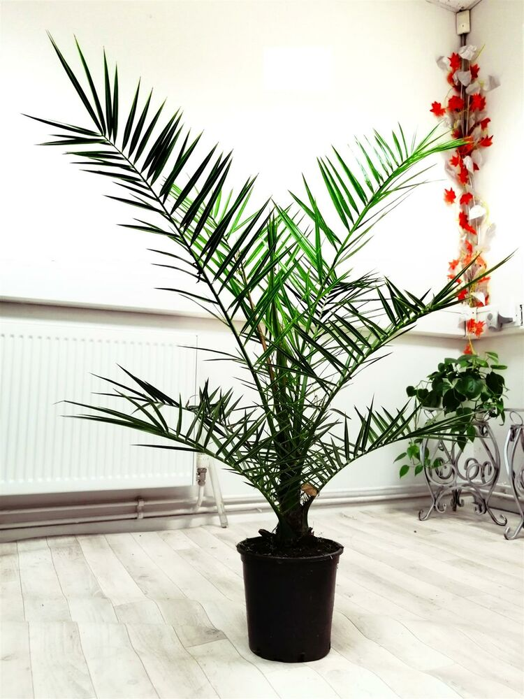 Phoenix roebelenii pygm e date palm pot indoor outdoor for Plante ornementale