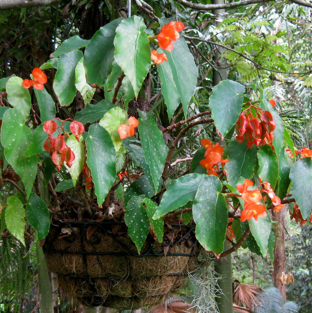 Angel Wing Begonia~((PEACH PARFAIT~Spotty Leaves / Dwarf ...