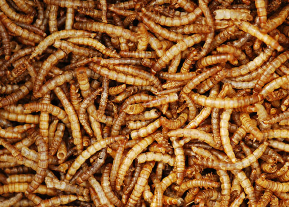 Quality dried mealworms 4kg for Mealworms for fishing