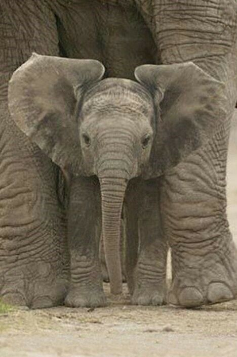 Animal Poster Elephant Mother Protecting Baby 24x36
