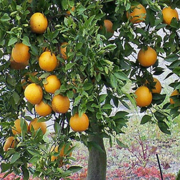how to prepare citrus seeds for planting