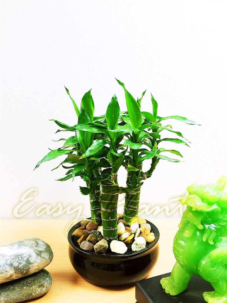 1 x tiger bamboo 3 trunks group plant in ceramic pot house for Bambou en interieur