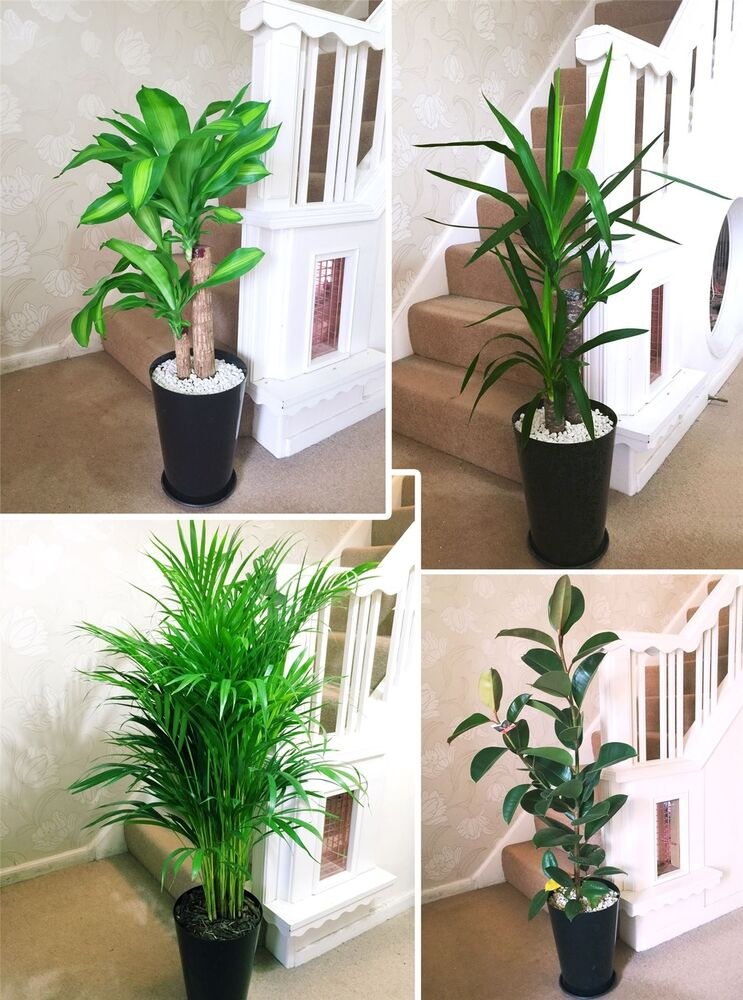1 large evergreen office house plant indoor tree in gloss black tubus slim pot ebay. Black Bedroom Furniture Sets. Home Design Ideas